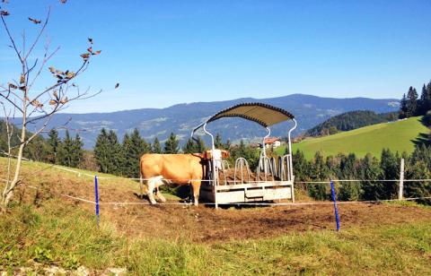 Kühe am Wegesrand – Etappe 11 Panoramaweg Südalpen